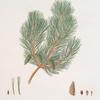 Pinus variablilis = Variable-leaved bastard pine