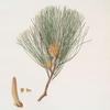 Pinus tæda = Frankincense pine