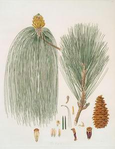 Pinus longifolia = Long-leaved Indian pine