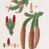 Pinus abies = Norway spruce fir