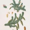 Pinus alba = Whit spruce fir