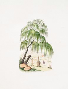 Cupressus pendula (under the tree a man is kneeling down)