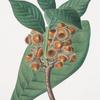 Quercus grandifolia = Magnolia-leaved oak.