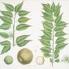 Maclura aurantiaca = Osage orange, or Bow-wood.