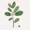 Ilex Paraguensis (miniatute branch with white flowers)