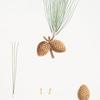 Pinus serotina = Pond pine.