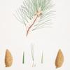 Pinus patula = Spreading-leaved pine.