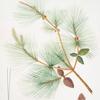 Pinus sinensis = Chinese pine.