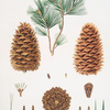Pinus gerardiana = Short-leaved Nepal pine [Chilgoza pine]