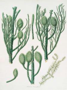 Araucaria Cunninghamii = Moreton Bay pine.