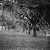 Live Oak Avenue, Caledonia Plantation.