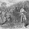 "Sugar-cane plantation-- ""The cane is cut down at its perfection"""