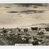 A highland herd.