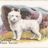 West Highland White Terrier.