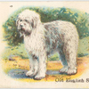 Old English Sheepdog.