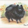 Toy Pomeranian.