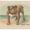 English Bulldog.