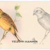 Yellow-Hammer.