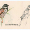Reed-Bunting.