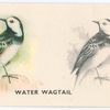 Water Wagtail.
