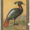 Impeyan pheasant.