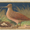 American woodcock.