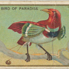 King bird of paradise.