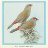 Red Browed Finches.