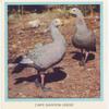 Cape Barren Geese.