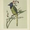 The Mexican Jay.  (Cyanocorax luxuosus).