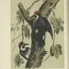 The Californian Woodpecker (Melanerpes formicivorus).