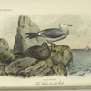 The White-headed Gull (Larus Heermanni).