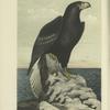 The Northern Sea Eagle (Haliaëtus pelagicus).
