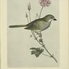 Blanding's Finch (Embernagra Blandingiana).