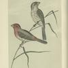 The American House Finch (Carpodacus familiaris).