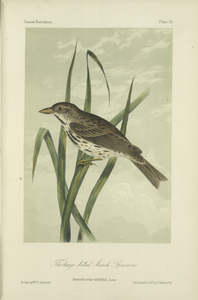 The Large billed Marsh Sparrow (Ammodromus rostratus).