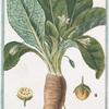 Mandragora fructu rotundo = Mandragora maschio - Mandragore. [Mandrake or Satan's apple]