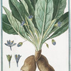 Mandragora foliis asperis, fructu parvo, ovato, acuminato, floribus violaceis, J = Mandragora femina = Mandragore femelle.