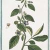 Belladona, majoribus foliis, et floribus = Belladone. [Devil's Cherries. Naughty Man's Cherries. Divale. Black Cherry. Devil's Herb. Great Morel. Dwayberry]
