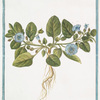 Nolana prostrata = an Atropa humifusa Govani? [Trailing Nolana]