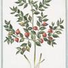 Ruscus Myrti-folius aculeatus = Pica Sorci = Houx Frelon [Butcher's Broom]