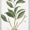 Ruscus latifolius fructu folio innascente = Lauro Alessandrino = Laurier alexandrin.