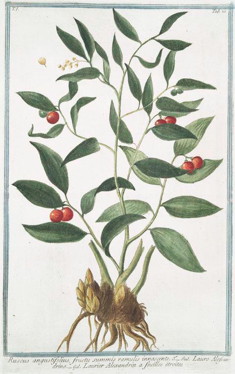 This is What Giorgio Bonelli and Ruscus angustifolius fructu summis ramulis innascente. = Lauro Alessandrino = Laurier Alexandrin a feuilles ?troites Looked Like  in 1772