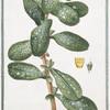 Cerinthe quorundam major, spinoso folio, flavo flore = Cerinte = Melinet. [Great Honeywort]