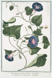 Convolvulus major, floribus azzurreis = Villucchio, o Campanelle = Leferon.