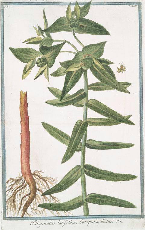 This is What Giorgio Bonelli and Tithymalus latifolius Cataputiia dictus Looked Like  in 1772