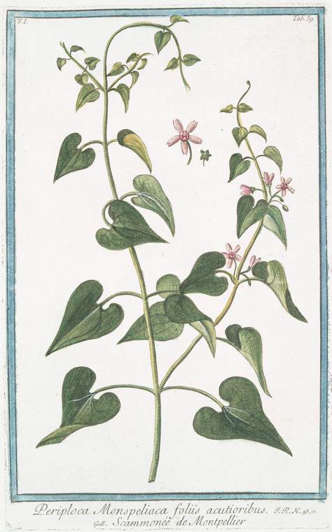 This is What Giorgio Bonelli and Periploca Monspeliaca foliis acutioribus = Scammon?e de Montepellier Looked Like  in 1772