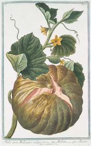 Melo sive Melopepo vulgo = Melone = Melon (Melo vulgaris)