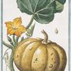 Melopepo, verruscosus, albicans, leviter striatus, folio aspero = Cocuzza bitorzoluta.