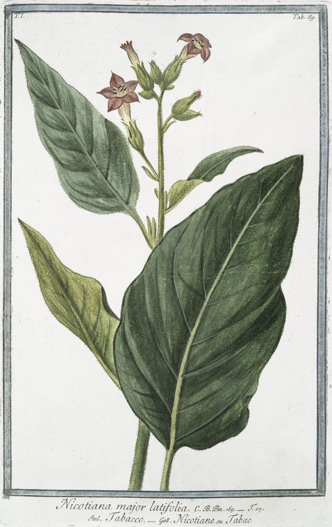 This is What Giorgio Bonelli and Nicotiana major latifolia = Tabacco = Nicotiane ou Tabac. [Tobacco] Looked Like  in 1772